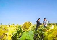年入30萬!湖北人在新疆種的是什麼瓜子