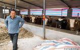 大叔養肉牛年入30萬,用牛糞餵養稀罕物,收入竟可比主業