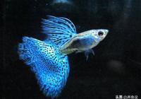 孔雀魚飼養小技巧,一個魚缸裡孔雀魚公母魚這樣配比,越養越多魚