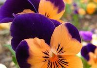 色彩鮮豔的早春花卉-三色堇花
