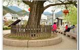 安慶官莊弘治年間銀杏樹與三畜石