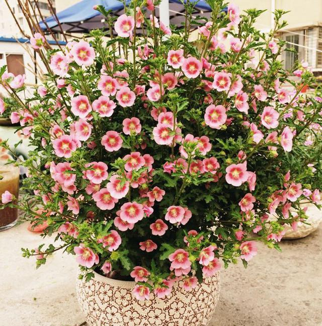 花色豔麗,花期長達半年,丟土就能活,一不小心就爆盆
