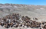 新疆北部哈薩克族牧民轉場 宛如電影大片