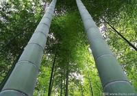 高風亮節堅韌的綠竹