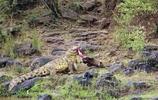 鱷魚被豹子偷襲,結果把豹子給耍弄了