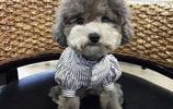 動物圖集:灰色貴賓犬