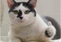 主人當著藍貓的面,假裝吃它的貓罐頭,藍貓秒變表情包,主人笑翻