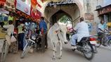 世界上最牛的牛在印度,當作神靈崇拜,既不能殺也不能吃