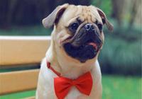 狗狗有眼屎怎麼辦?教你如何清理狗狗的眼屎