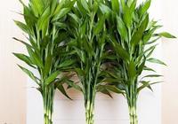 富貴竹為什麼黃葉?