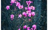 一束杜鵑紅、興安處處春:大興安嶺的杜鵑花開了