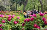 河南三門峽栽植的2萬餘株牡丹盛開,100多個品種供遊客觀賞