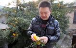 四川這顆橘子樹山西長了30年大冬天一次結果500斤,果實成啥樣子