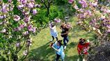 上海晚櫻迎來盛花期 顧村公園進入最後一波賞櫻季