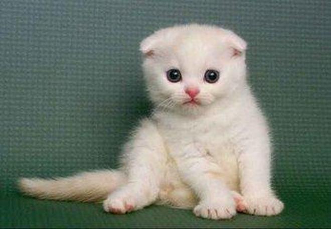 動物圖集;蘇格蘭摺耳貓