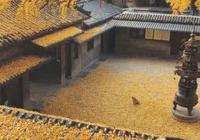 爆紅網絡的一張圖:深秋銀杏樹,狗狗坐在落葉中,畫面太美
