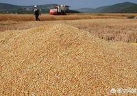 小麥收割機收小麥髒怎麼辦?
