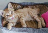 有一隻好吃懶做還巨愛撒嬌的貓是什麼體驗?