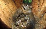 松鼠:北美紅松鼠,多在寒溫帶針葉林中,偶爾出現在落葉森林中