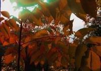 華龍網攝友liq38800作品:秋葉