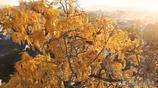 江西千年古銀杏,驚豔到孤絕,是窮遊最值得去的古村落