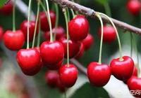 櫻桃怎麼採摘?