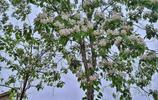 你見過農村楸樹的花嗎,它好美好香好甜,跟著鏡頭看兩分鐘吧