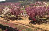 2019第十一屆中國大連(旅順)國際櫻花節,櫻花漫舞,春悅旅順