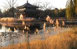 北京圓明園落葉滿地,景區美如畫,蘆葦、銀杏已進最佳觀賞期
