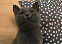 養一隻英短貓一個月要花多少錢?聽聽妹子們怎麼說!