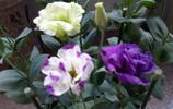 洋桔梗的花真漂亮,和玫瑰花相比不分上下,可惜很少有花友種植