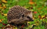 動物圖集:小巧的刺蝟
