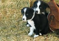 想要飼養邊境牧羊犬嗎?飼養邊境牧羊犬一定要主要這幾點!