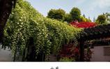 南京瞻園的木香——木香是條蛇,一條會吐香氣的蛇