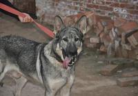 盤點我國最凶猛的5種狗,充滿戰鬥力,可以與狼搏鬥!