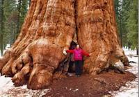 世界上最大的一棵樹,樹圍31米20人才能合抱住,高達83米!