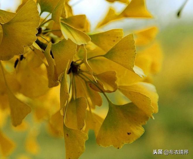 新鄉衛輝羅圈村:好大千年銀杏樹,最是欣賞黃葉時