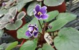 自然風光:紫羅蘭