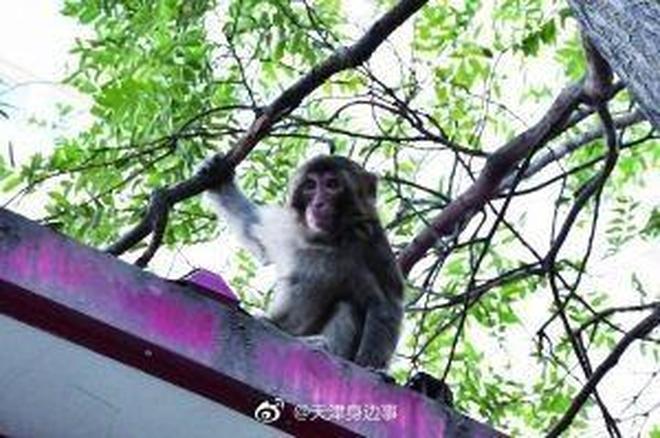 """不速之猴街頭搶食物 眾市民夜晚""""齊降大聖"""""""