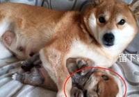 主人將小柴犬送人,當伸手拿最後一隻時,狗媽的反應讓人心疼