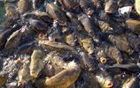 一物剋一物,亞洲鯉魚不敢囂張了,遇到它們想跑都跑不掉