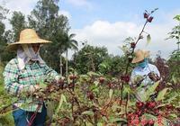 玫瑰茄豐產種植栽培管理的技術 洛神花對環境種植條件的要求
