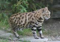 賣得了萌,當得了殺手的貓科動物,體型不大實力卻很強
