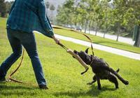 """和狗狗""""拔河"""",會玩就是個非常好的訓練遊戲,不然可能會受傷"""