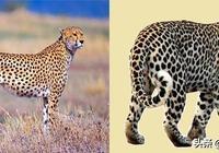 豹子 VS 獵豹:你能區分豹子和獵豹嗎?