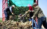 老年農民黃河灘打工種蓮藕日賺100,70歲以上不敢報真實年齡
