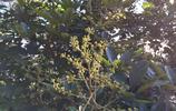 農村山裡的這種樹的花是養生美顏冬蜜最好的來源,你有見過嗎?