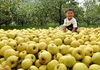 宿州碭山酥梨怎麼樣?