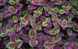 彩葉草的色彩鮮豔