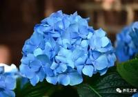 植物記:繡球花